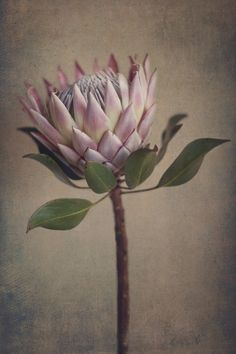 Garden Flowers - Annuals Or Perennials Protea&Fynbos Print Set - Prints Only By Natascha Van Niekerk Fine Art Photography