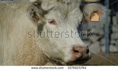 White cow head looking at the camera    #cow #farmlife #photostock