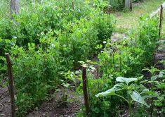 10 ravasz kerti praktika szódabikarbónával - Kertészkedek.hu Plants, Korn, Gardening, Google, Kitchen, Cooking, Lawn And Garden, Kitchens, Plant