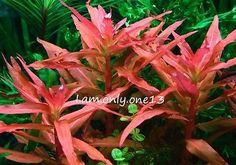 Ammannia Gracili RARE Pink Red Live Aquarium Plant Java Moss CO2 ADA Aquascaping