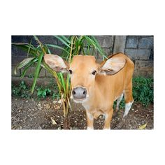 mooooo photo by @choqysatria film photography, animal , 35mm , summer , bali