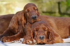 Irish Setters - One of the first loves of my life. Also, my first real heartbreak.  RIP Shamrock, sweet girl.