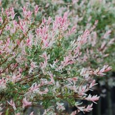 Salix Flamingo. Leaves stay pink, cream & green until winter, when the deep red stems are a knockout against snow