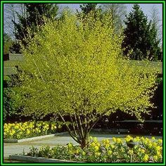 161209002718_Cornus mas Tree Thumb1.jpg (365×365)