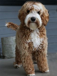 All of our Daisy Hill Australian Labradoodle Puppies are bred for health, sound temperament and an allergy friendliness. Available labradoodle puppies Dog Breed Names, Best Dog Breeds, Pet Dogs, Dogs And Puppies, Dog Cat, Doggies, Australian Labradoodle Puppies, Goldendoodles, Puppies