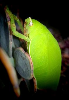 Read more on www.natureindigitaleye.com 👉 Leaf Insect's Survival Mechanism #nature_brilliance   http://natureindigitaleye.com/2016/07/08/leaf-insect/?utm_campaign=crowdfire&utm_content=crowdfire&utm_medium=social&utm_source=pinterest