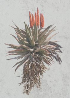 Aloe Karoo - photograph by Fran Jex on canvas Plant Illustration, Botanical Illustration, Watercolour Painting, Watercolor Flowers, Botanical Art, Vintage Flowers, Painting Inspiration, Animals And Pets, Bed Rooms