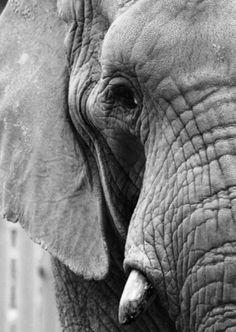 Ansichtkaart gefotografeerde olifant in zwart-wit. Fotografie dieren kaart monochrme decoratie foto sfeerbeeld