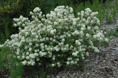 Want to go native in your yard and need shrubs? Look no further than fantastic fothergilla! Fothergilla shrubs can be grown in other regions as well though. Evergreen Shrubs, Deciduous Trees, Trees And Shrubs, Trees To Plant, Black Walnut Tree, Foliage Plants, Types Of Soil, Garden Trees, Landscaping Plants