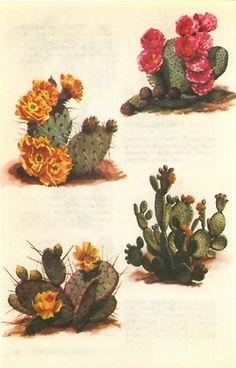 cactus botanical illustration