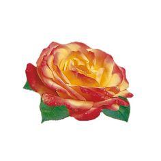 Róża rabatowa - Rosa 'Rumba'