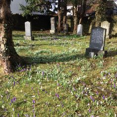 2 March 2015. This morning's snow has not spoilt the wonderful display of crocuses and snowdrops in the graveyard at Ullapool Museum