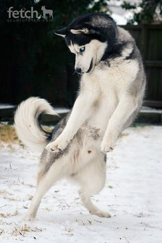 Shall we dance?... the one thing about siberian huskies is that they will make you laugh