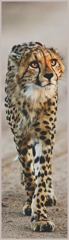 Cheetah (Acinonyx jubatus) inhabits most of Africa and parts of the Middle East. It is the only extant member of the genus Acinonyx. The cheetah can run faster than any other land animal— as fast as 112 to 120 km/h (70 to 75 mph) in short bursts covering distances up to 500 m (1,600 ft), and has the ability to accelerate from 0 to 100 km/h (62 mph) in three seconds.