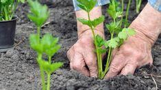 Chcete-li mít kvalitní a zdravý celer, je nejvyšší čas zasít semínka, protože celer má dlouhou vegetační dobu. Vegetable Garden, Gardening, Plants, Recipes, Vegetables Garden, Lawn And Garden, Vegetable Gardening, Plant, Veggie Gardens