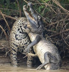Panic: The powerful cat sunk its teeth into the caiman's throat as the reptile thrashed in a desperate attempt to break free Astonishing photos capture battle between a jaguar caiman ella ella' underwater pictures Panic: The powerful c Animals And Pets, Funny Animals, Cute Animals, Mundo Animal, My Animal, Reptiles And Amphibians, Mammals, Beautiful Cats, Animals Beautiful