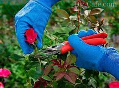 Pruning your rose bush is important for a healthy plant. Find out how, where and when to prune your roses with this handy guide from Love The Garden.