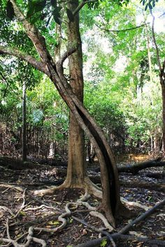 Birth tree, amazon rainforest #amazonrainforest more info http://www.braziltravelbeaches.com