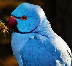 Blue Alexandrine Parakeet by Andy von der Wurm, via Flickr