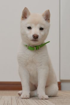 "* * Shiba Inu Puppy: "" Noes. Me don'ts speak Japanese cuz me wuz born in de U.S.A. """