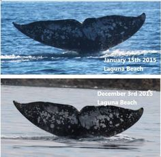 Against astronomical odds, Ryan Lawler photographs the same migrating gray whale he photographed last season, in the same area, at the same time of day.