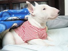 Puppy Bull Terrier #English #Bull #Terrier #Dog #Dogs #Pet #Pets #Funny #Cute #Sweet #Terriers #Puppy