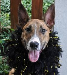 Fancy A17 is an adoptable Great Dane Dog in Baton Rouge, LA.   All dogs in the adoption program are examined by a veterinarian, vaccinated, spayed/neutered, and micro-chipped prior to leaving the sh...