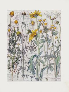 Chamomile, Chrysanthemum, Moon Daisy from H. Isabel Adams Chromolithograph Flower Prints