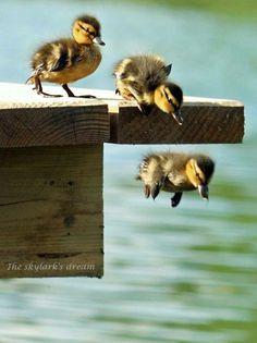 ducklings / leap of faith / birds Cute Baby Animals, Animals And Pets, Funny Animals, Animals Images, Beautiful Birds, Animals Beautiful, Beautiful Images, Baby Ducks, Tier Fotos