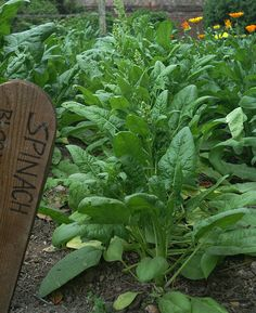 Growing Spinach in the Home Garden