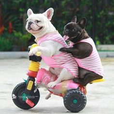 """""""It's the Weekend Baby, vroom vroom!"""",  French Bulldogs on a 'Joy Ride', @frenchbulldog_pierre"""