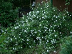A Little Trick When Moving A Mature Rose Bush. Read the full article here http://www.finegardening.com/item/23258/a-little-trick-when-moving-a-mature-rose-bush#
