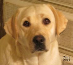 yellow Labrador Retrievers - white Labrador puppies