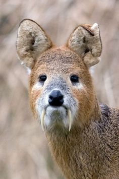 Chinese Water Deer | Instead of antlers, the males grow fangs.  Incredible animals in this article!
