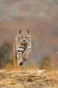 Bobcat by Don Johnston