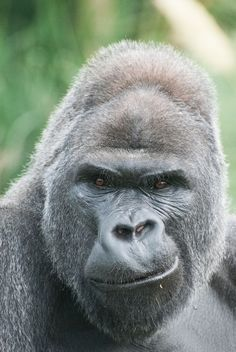 Gorillas at Bristol Zoo: Silverback Jock