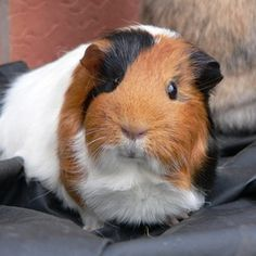 Guinea pigs love all kinds of homemade toys.