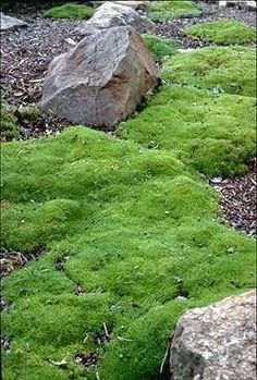 Scleranthus biflorus. An Australian native, which is drought tolerant and prefers full sun. Would look great in rockeries and gives the illusion of moss.