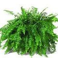"Boston Fern Scientific Name: Nephrolepis Exaltata ""Bostoniensis"" Removes: * Most pollutants, especially formaldehyde. Benefits: * Beautiful and lush, a favorite for any home or office. * It does require attention in order to thrive."