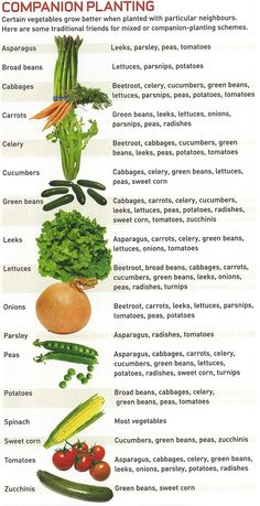 Companion planting- vegetable gardening ( uses companion planting to promote healthier and lush gardens! Companion planting - neat little infographic Companion planting chart (although annuals and perennials are intermixed) Give your veggies good companio Planting Vegetables, Fruits And Vegetables, Veggies, Regrow Vegetables, Planting Plants, Easiest Vegetables To Grow, Planting A Garden, Garden Plants, Garden Landscaping