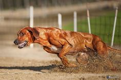 QUALITY DOGS — Rhodesian Ridgeback Power 2.0 by Peter kaul