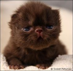 ^chocolate Persian kitten