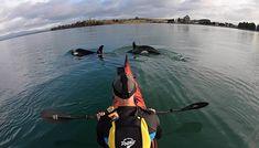 Watch Marine explorer's amazing orca footage in Tauranga Harbour
