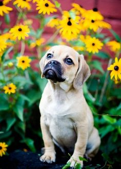 OMG, puggles are just so cute!