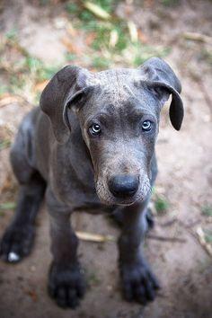 Beautiful Blue Great Dane pup
