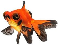 cold water fish - Google Search