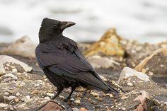 kraai De zwarte kraai is veel voorkomend in Nederland. Hij is helemaal zwart vaak met een wat groenige glans over de veren. Hij lijkt sterk op de raaf maar is een stuk kleiner. De raaf is in Nederland veel zeldzamer dan de zwarte kraai.