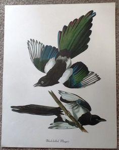 "Audubon Bird Print - """"BLACK-BILLED MAGPIE"""" - Lithograph - c1960"