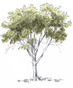 How to Draw a Tree - Oak