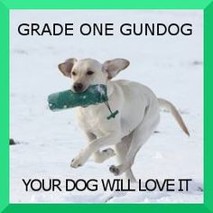 Find out how much fun you and your Labrador Retriever could have with gundog training!